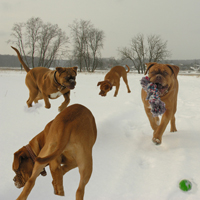 DOGUE DE BORDEAUX. The life of French mastiffs